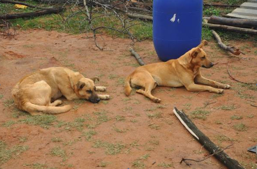 Dogs in Swaziland.png