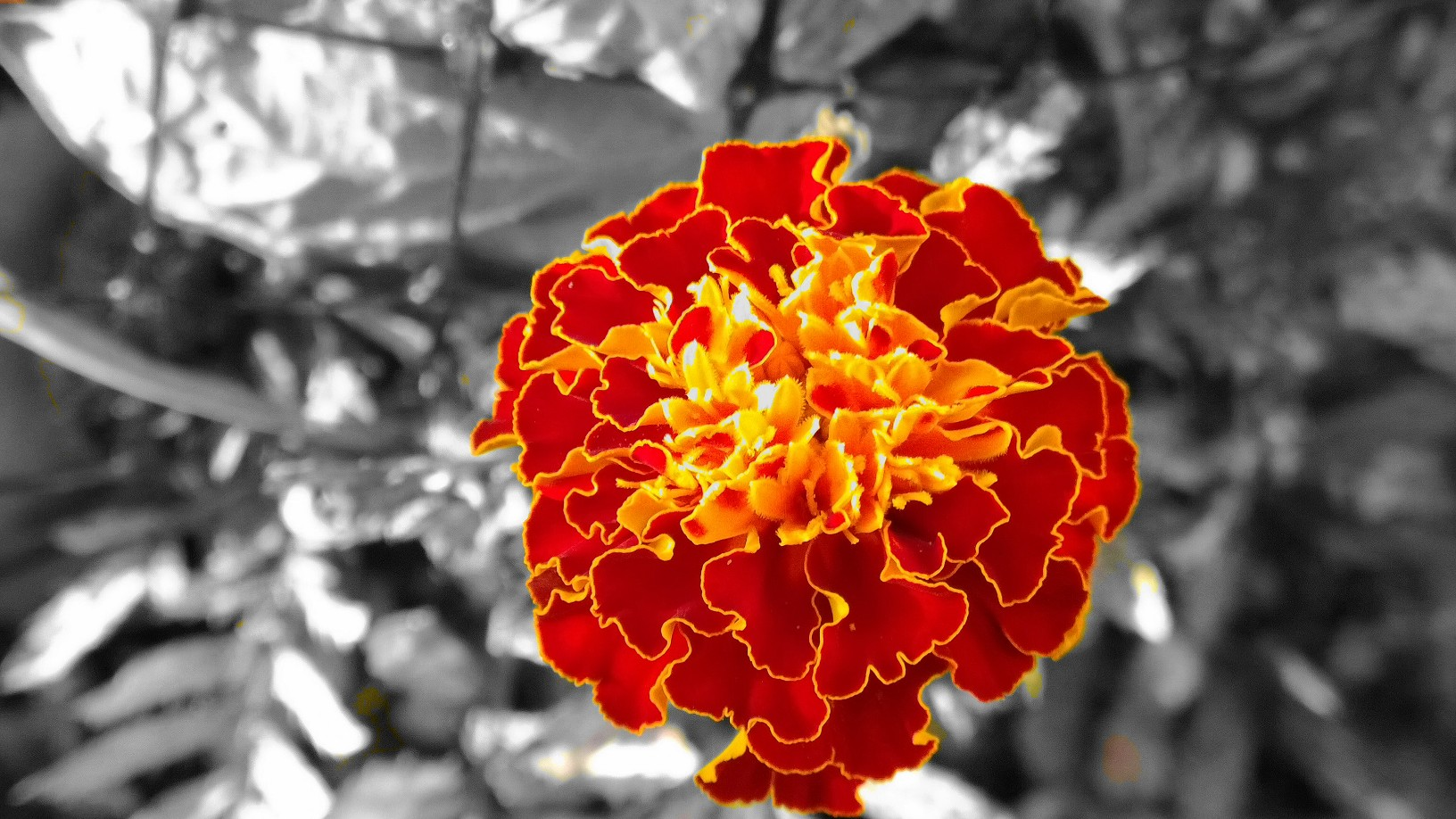bw and color flower.jpg